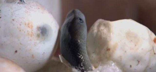 Mamba Negra - Reproducción