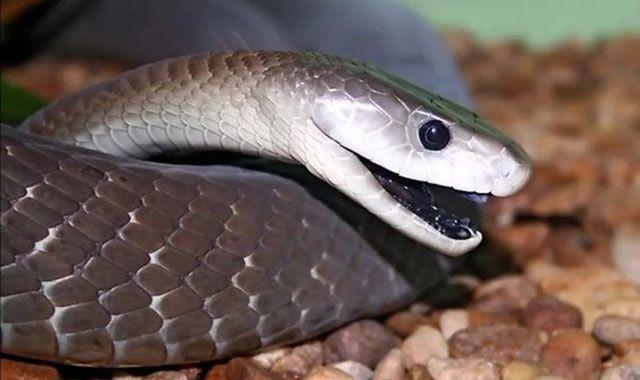 Mamba Negra – (Dendroaspis polylepis)