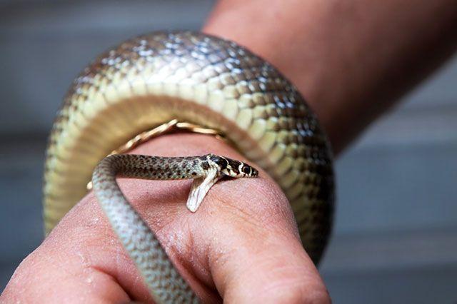 mordedura de serpiente