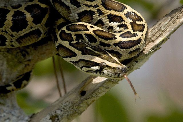 Pitón - Pythonidae