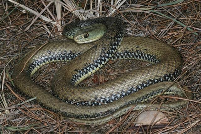 Serpiente bastarda malpolon monspessulanus