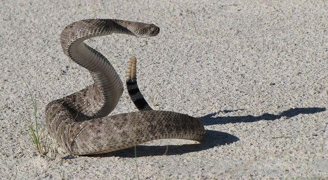 viperidae-serpientecascabel