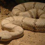 serpiente-de-cascabel-de-roca-Crotalus-lepidus