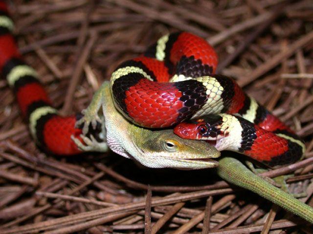 serpientes de coral - alimentación