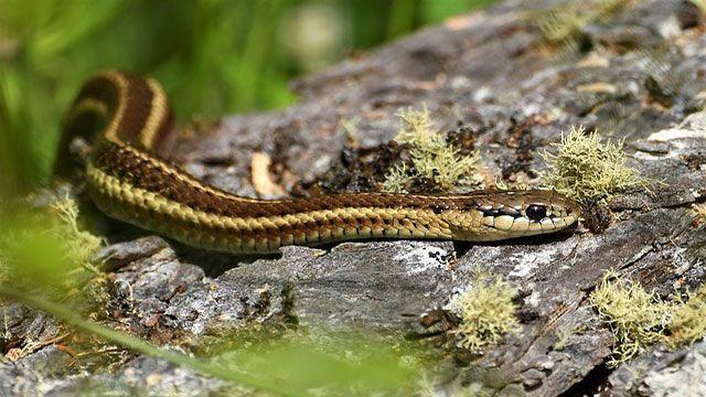 serpientes domésticas - serpiente de liga