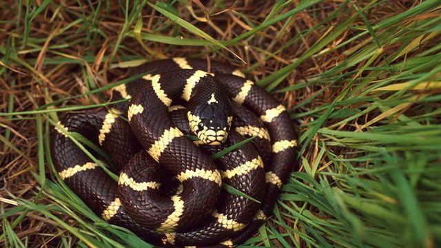serpiente doméstica - serpiente rey de California