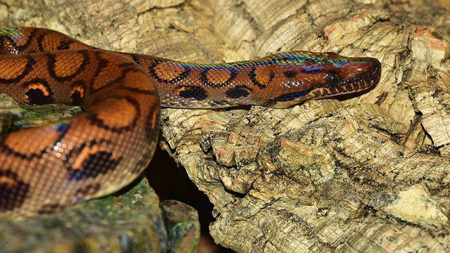 serpientes domésticas-boa arcoíris brasileña