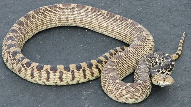 serpiente domésticas- serpiente gopher