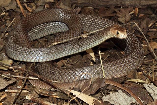 Serpiente Marrón común - Pseudonaja textilis