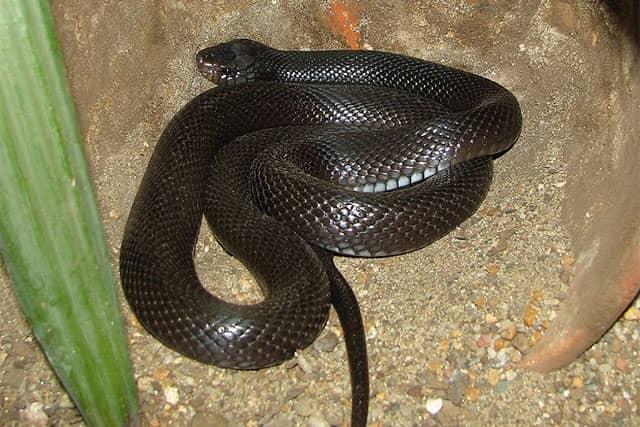 Walterinnesia aegyptia / Cobra del desierto negra