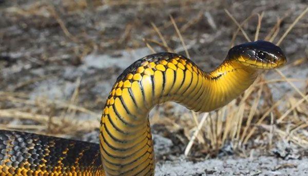 Elapidae - serpiente tigre