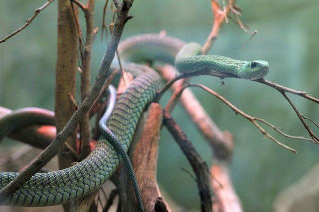 Serpiente Boomslang
