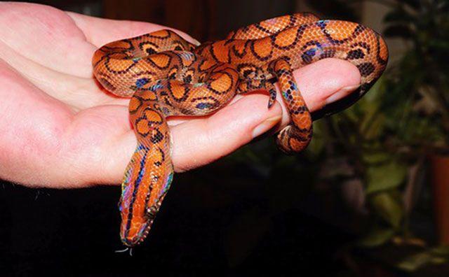 serpientes domésticas