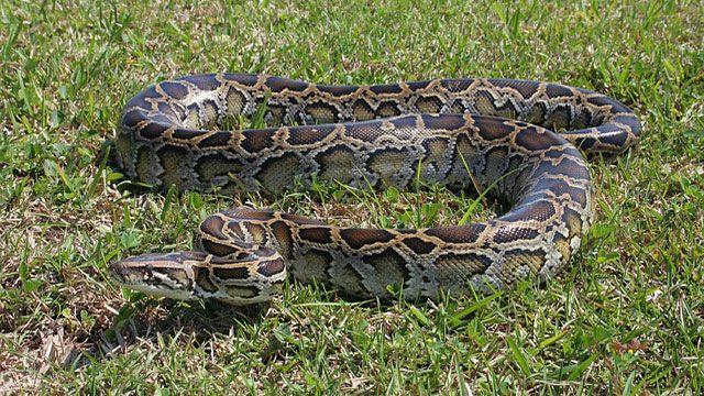 serpientes domésticas - pitón birmana