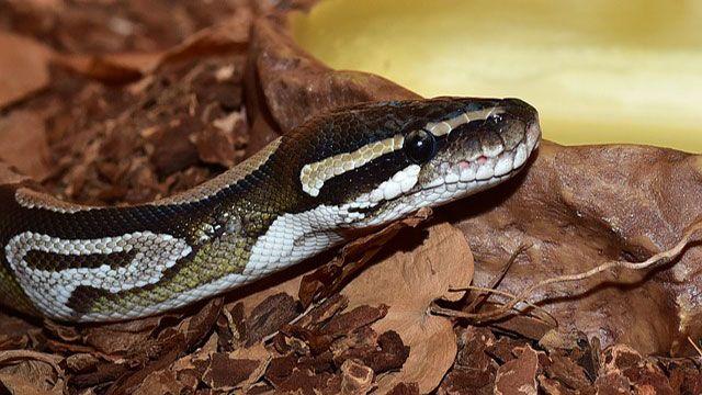 serpientes domésticas-pitón real - pitón de bola