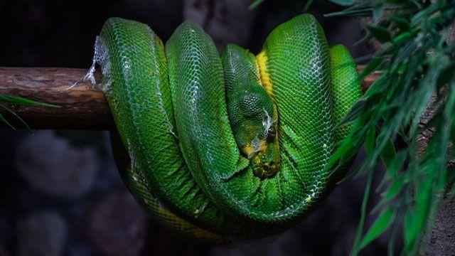 serpientes domésticas-pitón verde de árbol