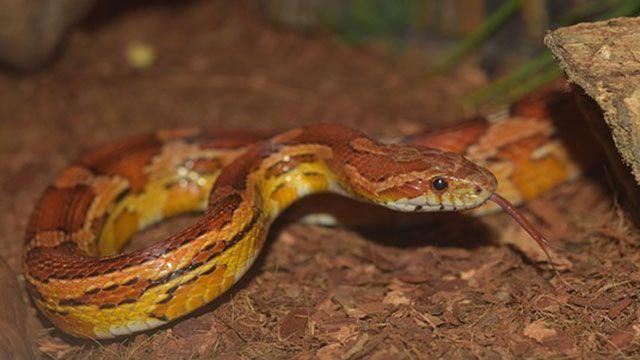serpientes domésticas serpiente de maíz