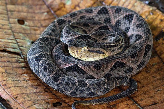Serpiente terciopelo - Bothrops asper