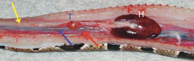Sistema respiratorio de la serpiente